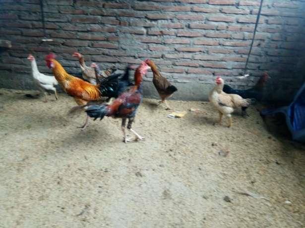 Ayam kampung Liar atau Umbaran