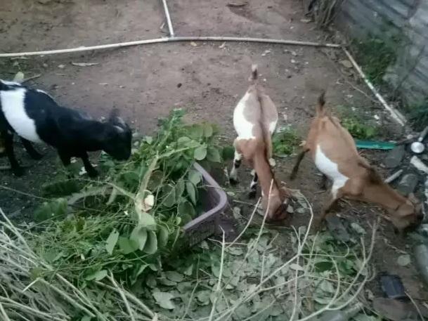 Di jual 3 ekor kambing jantan