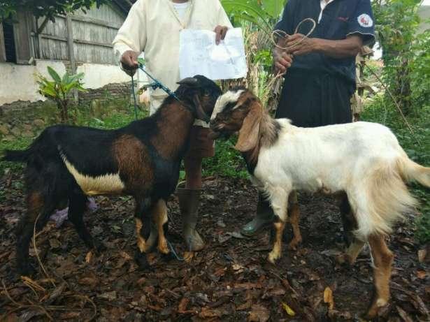 menyediakan kambing domba jantan betina bakalan