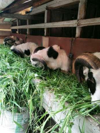 sedia layanan aqiqah domba dan nasi box