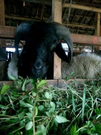 jaya mandiri domba, aqiqah / kurban