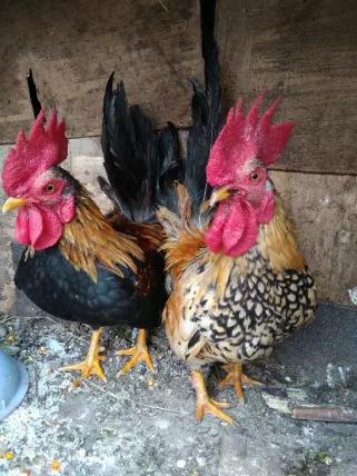Di jual ayam kate jantan