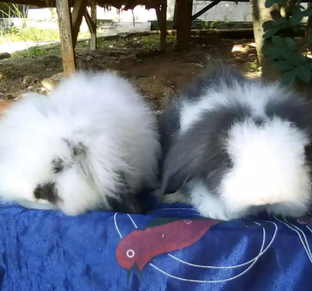 Bismilah jual sepasang anakan kelinci fuzzy lop umur 2,5 bln