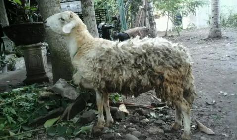 Kambing domba aqiqah gemuk murah