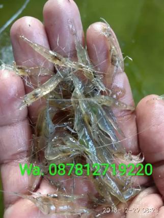 Udang hidup utk pakan ikan arwana, louhan, & predator isi 100 ekor