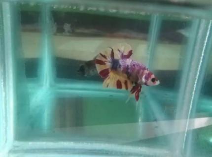 Ikan cupang nemo candy size m full block