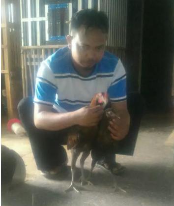 Anak ayam pelung ci anjur usia -+ 3 bulan