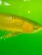 Jual ikan arwana