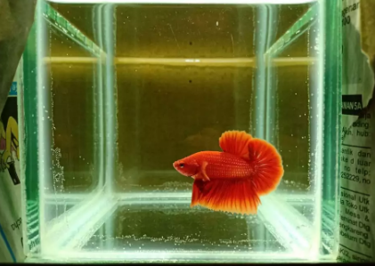 Cupang HMPK Super Red Ferarri Ikan Body Cakep !!