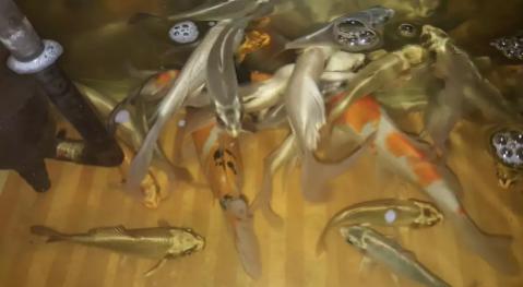 Ikan Koi Istimewa