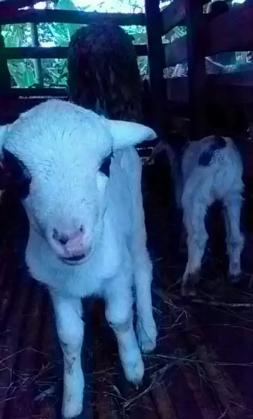 Anak domba jantan