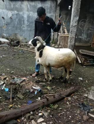 Kambing domba garut