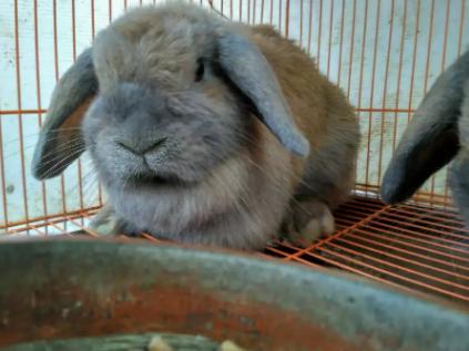 Jual kelinci holand loop sepasang ras murni minat langsung kontak