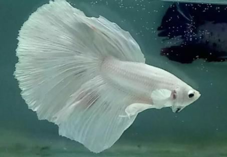 Ikan cupang hm white••