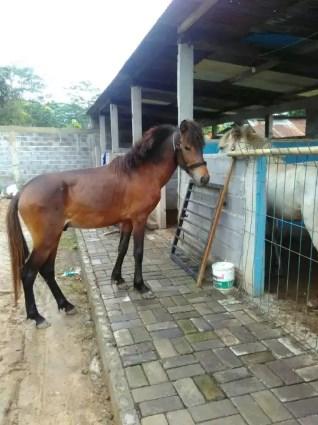 Kuda Poni Jantan