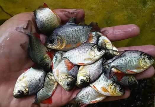 Bibit ikan bawal ukuran silet