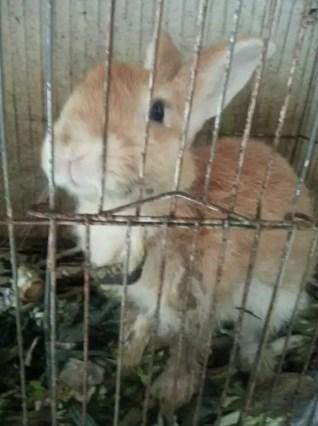 Jual kelinci biasa