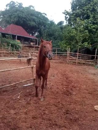 KUDA ISTIMEWA khusus untuk Penggemar Kuda