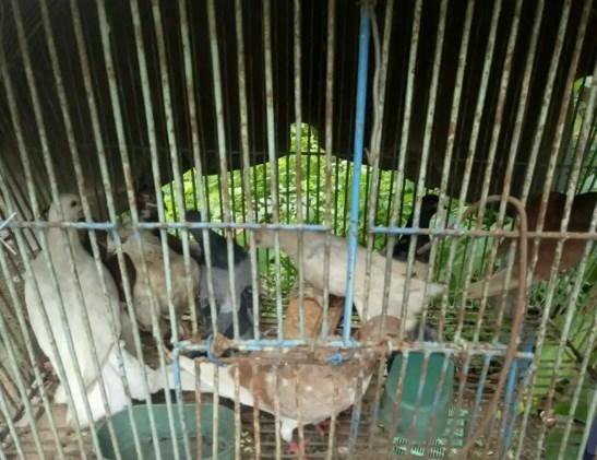 Burung merpati/dara