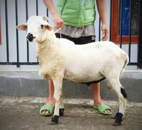 Bibit Bakalan Domba Jantan Unggul