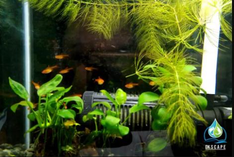 Ikan Amandae / Amber Tetra fauna Aquascape/Aquarium