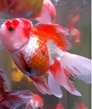 Unduh 65+ Gambar Ikan Hias Melem Terbaru