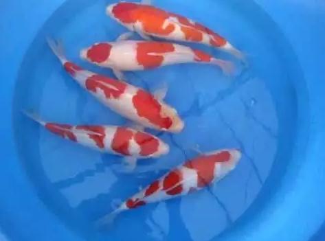 Ikan Koi Kohaku Pilihan