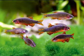 Ikan Rasbora Galaxy fauna Aquascape/Aquarium