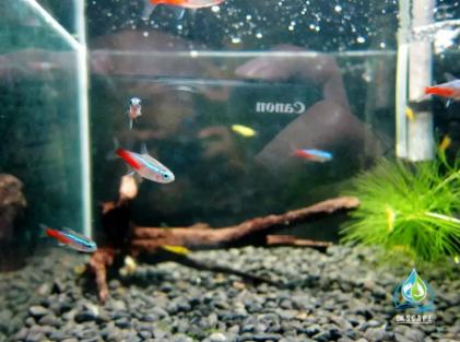 Ikan Neon fauna Aquascape/Aquarium