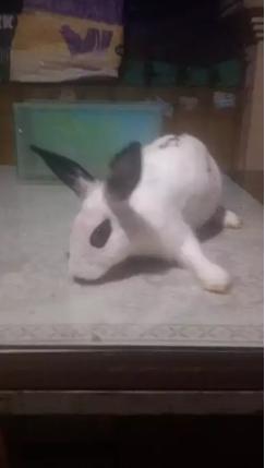Kelinci mini betina