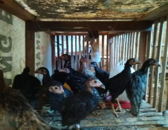 Anakan ayam kampung umur 1 bln lebih