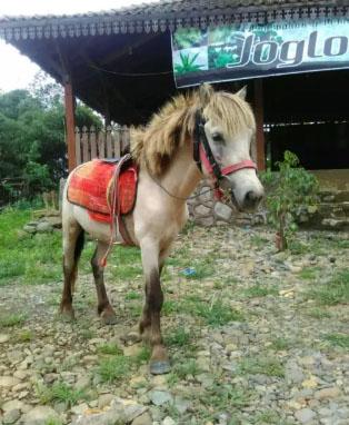 Kuda mini jinak