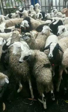 Domba Betina Stock Banyak
