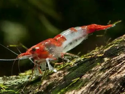 Udang Red Rily Aquascape Aquarium