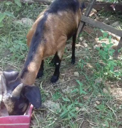 kambing betina sama anak nya 1