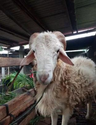 kambing umur 1,5th