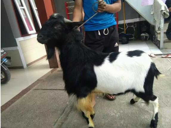 domba aqiqah murah Bandung