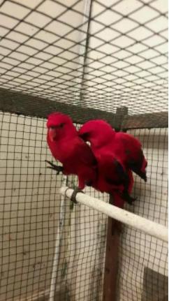 Burung merah sepasang 1.850 & lobird sepasang 300