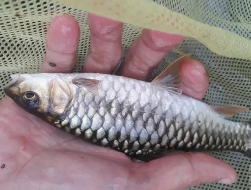 Ikan dewa / ikan mahseer / ikan jurung / ikan kancra