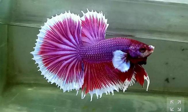 Ikan cupang HmBe Lavender Purple
