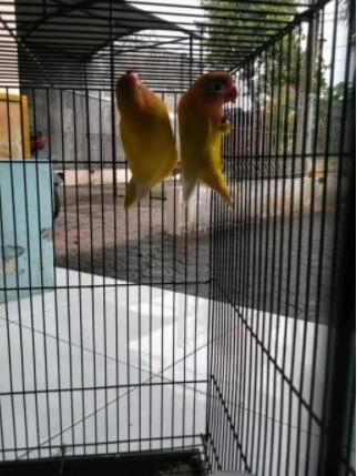 Burung love bird 5 jodoh