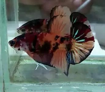 Ikan Cupang Nemo Emerald Jual Beli Hewan Jadi Mudah