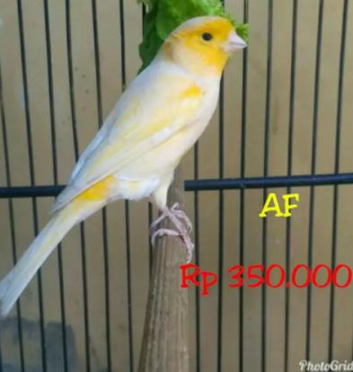 Burung Kenari Kuning / Orens AF/AFS Rasa F1 JANTAN 100%