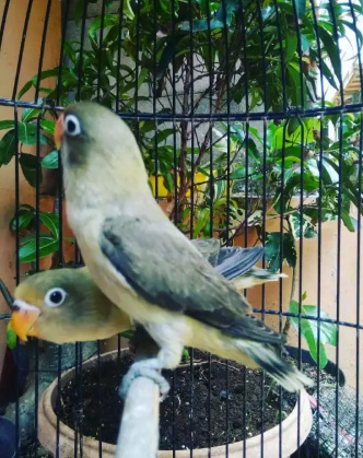Burung love bird pb Euwing istimewa