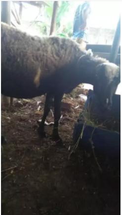 Domba murah untuk aqiqah qurban syukuran dll