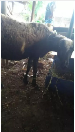 Jual berbagai macam domba murah