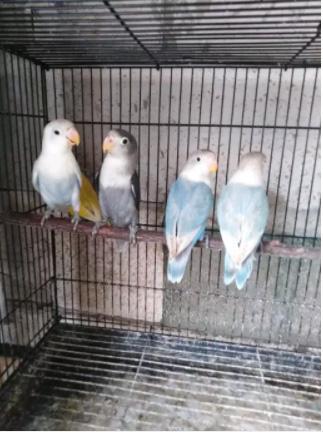 Burung lovebird murmer