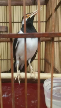 Burung brisik jinak gacor