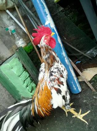 Jual ayam aduan jenis birma,baru turun box,waktunya ngabar.
