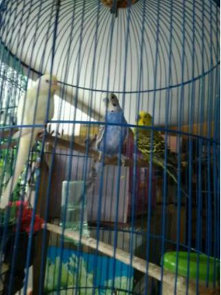 Burung Parkit Borongan 3 Ekor Harga Termurah Terbaik di Tangerang 2019